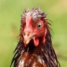 wet chicken